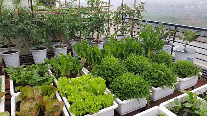 Vườn rau trên sân thượng - gạch lát sân thượng chống thấm